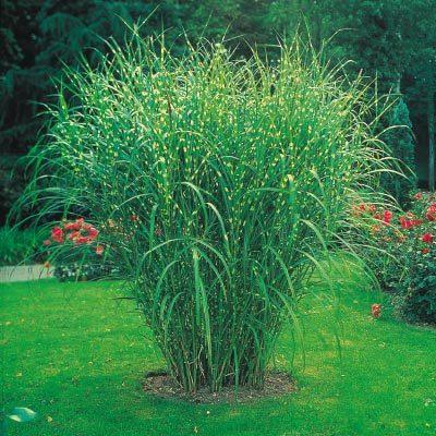 Miscanthus Zebrinus Zebra Grass Miscanthus Zebra Grass